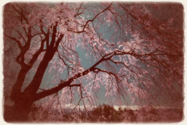 青空と見上げるしだれ桜と残雪の北アルプス