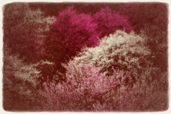 連なる紅白桃色の梅