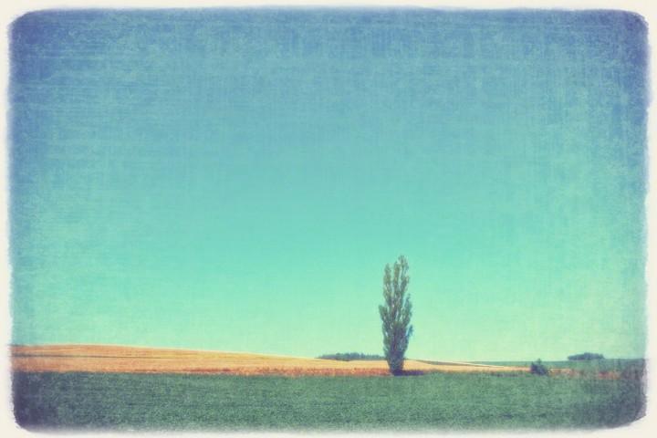 青空と麦畑の丘のポプラの木